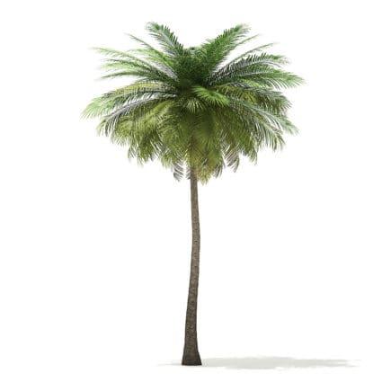 Coconut Palm Tree 3D Model 9m