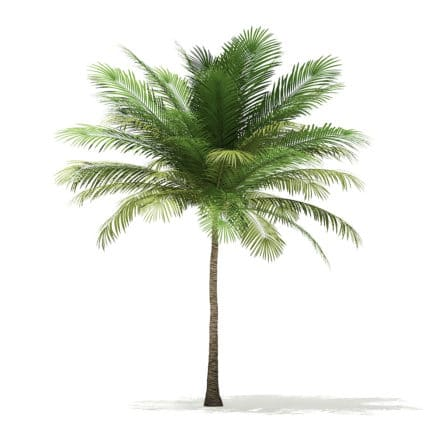 Coconut Palm Tree 3D Model 6m