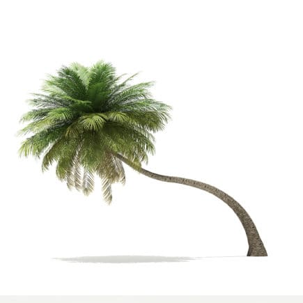 Coconut Palm Tree 3D Model 6.5m