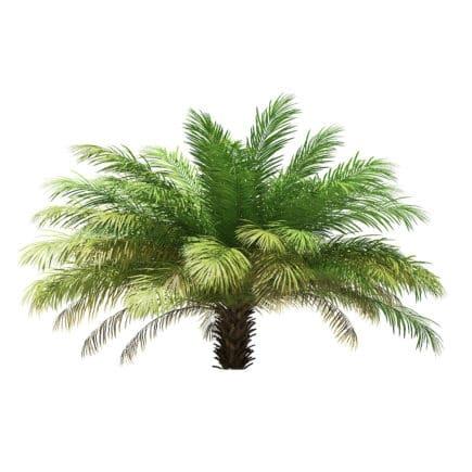 Date Palm Tree 3D Model 2.5m