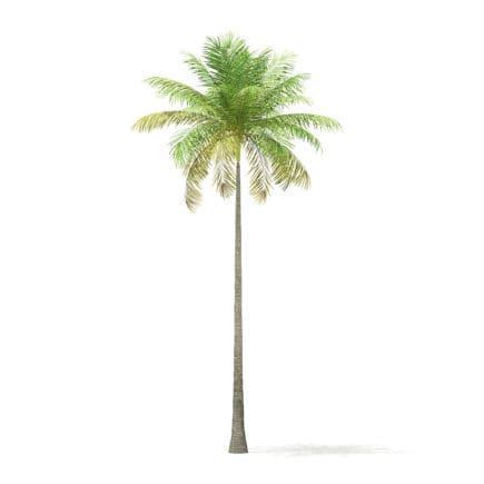 Bottle Palm Tree 3D Model 8m