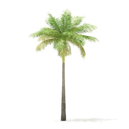 Bottle Palm Tree 3D Model 6.4m