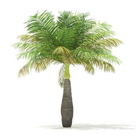 Bottle Palm Tree 3D Model 3.6m