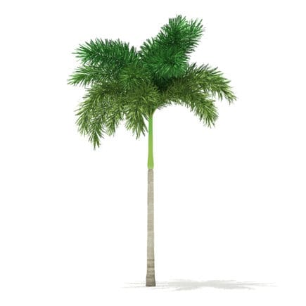 Foxtail Palm Tree 3D Model 6.8m