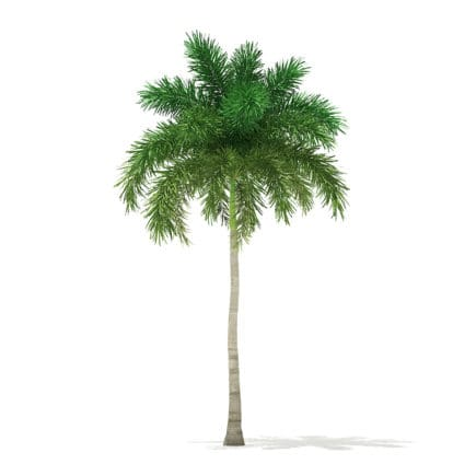 Foxtail Palm Tree 3D Model 9.8m