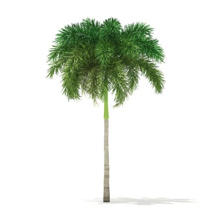 Foxtail Palm Tree 3D Model 7.4m