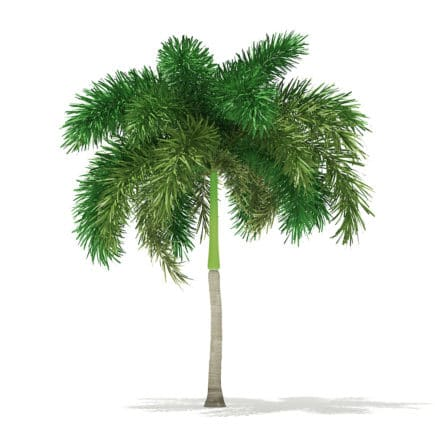 Foxtail Palm Tree 3D Model 6.2m