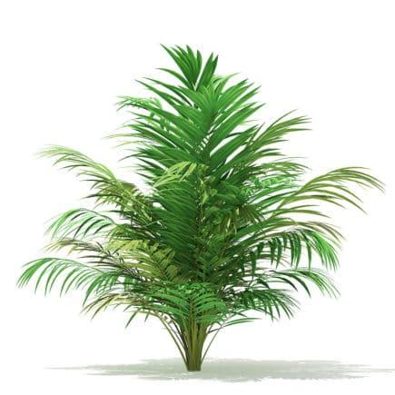 Golden Cane Palm Tree 3D Model 2.5m