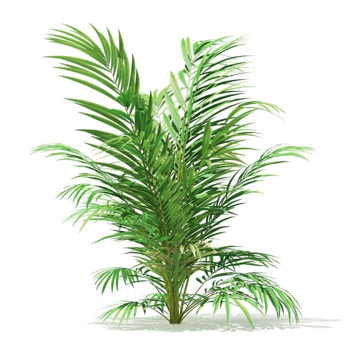 Golden Cane Palm Tree 3D Model 2.1m