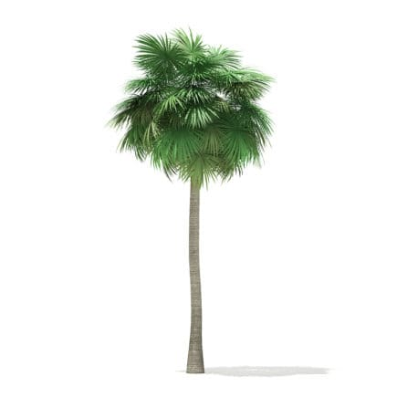 Sabal Palm Tree 3D Model 12m