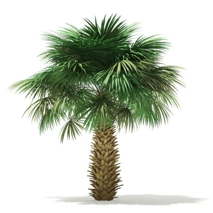 Sabal Palm Tree 3D Model 4m