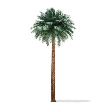 Silver Date Palm Tree 3D Model 11.5m