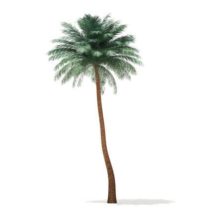 Silver Date Palm Tree 3D Model 10m