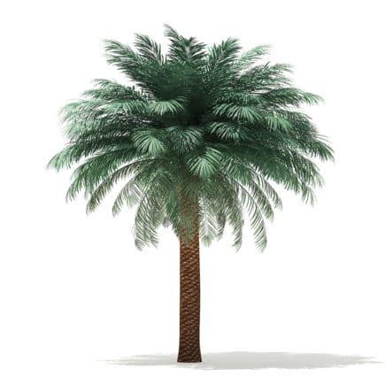 Silver Date Palm Tree 3D Model 5.6m