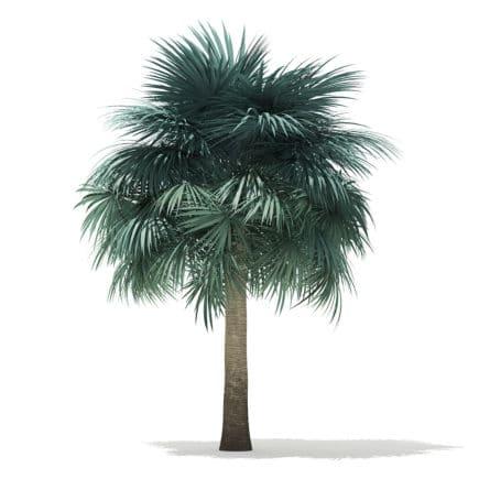 Silver Fan Palm Tree 3D Model 5.8m