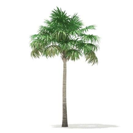 Thatch Palm Tree 3D Model 7.8m