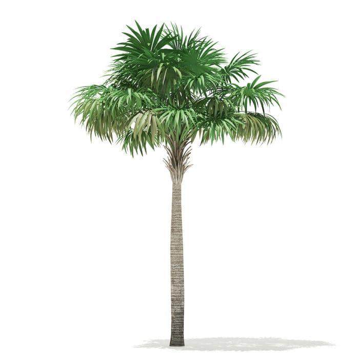 Thatch Palm Tree 3D Model 7m
