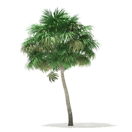 Thatch Palm Tree 3D Model 6.8m