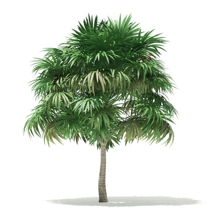 Thatch Palm Tree 3D Model 5.8m