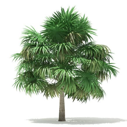 Thatch Palm Tree 3D Model 5m