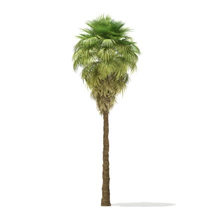 California Palm Tree 3D Model 9m