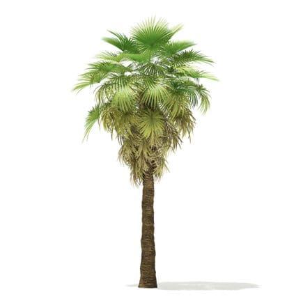 California Palm Tree 3D Model 6.8m