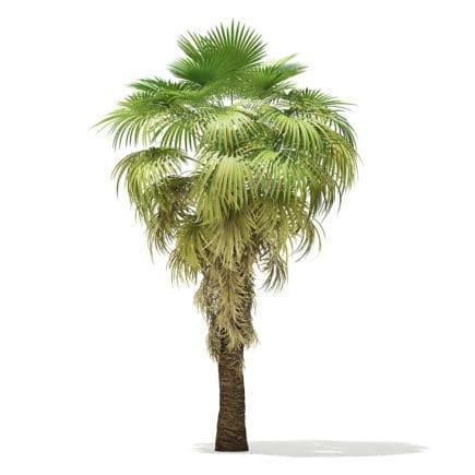 California Palm Tree 3D Model 5.9m