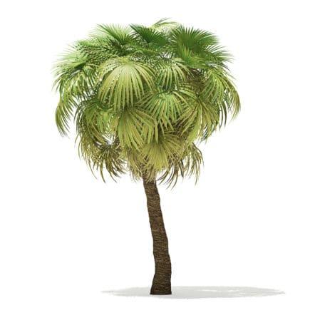 California Palm Tree 3D Model 7.5m