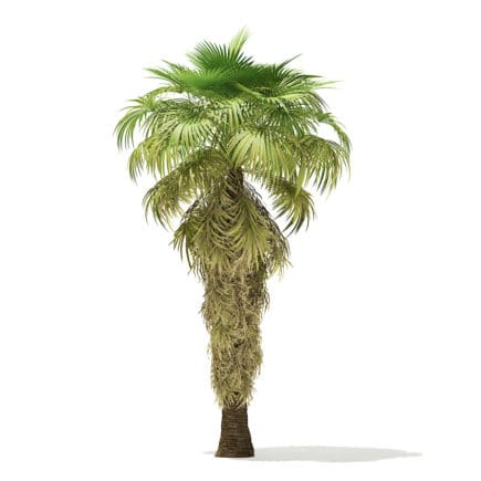 California Palm Tree 3D Model 8m