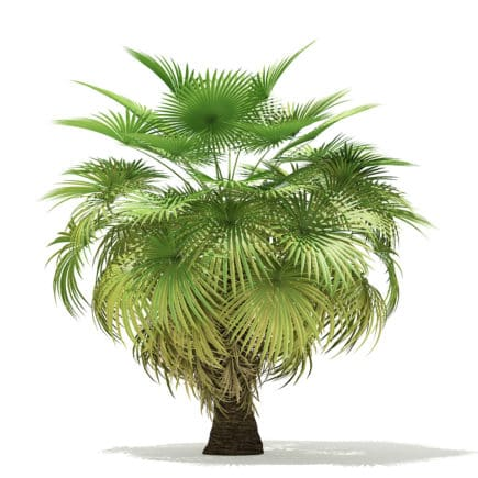California Palm Tree 3D Model 5.4m