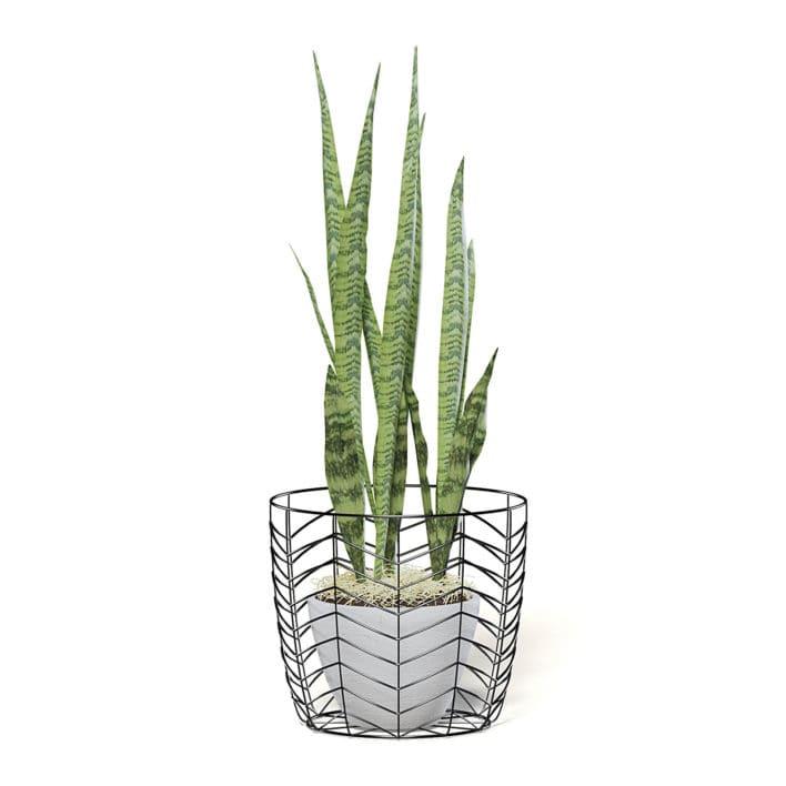 Snake Plant 3D Model in White Pot