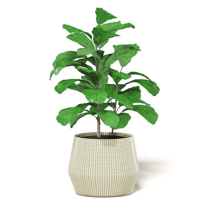 Fig Plant 3D Model in Wicker Basket