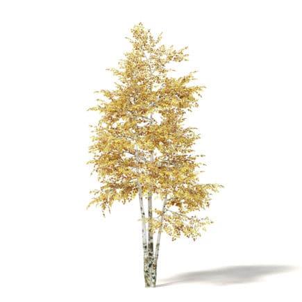 Silver Birch 3D Model 3.6m