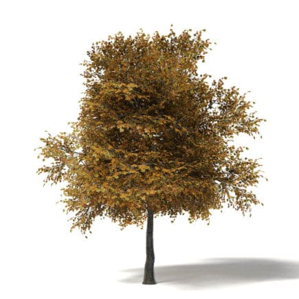 Field Maple 3D Model 5.8
