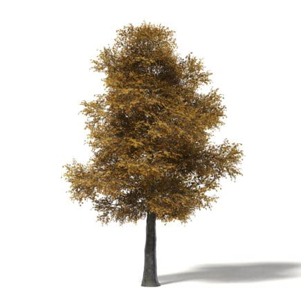Field Maple 3D Model 12m