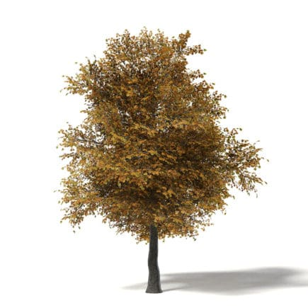 Field Maple 3D Model 8.5m