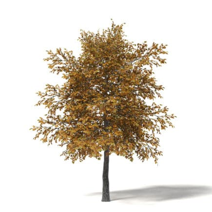 Field Maple 3D Model 5.4m