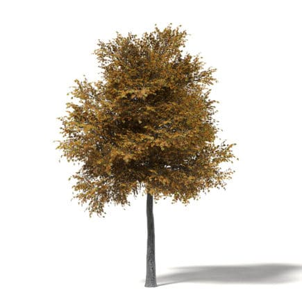 Field Maple 3D Model 9m