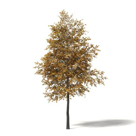 Field Maple 3D Model 4.7m