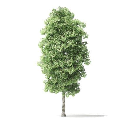 Red Alder Tree 3D Model 5.8m