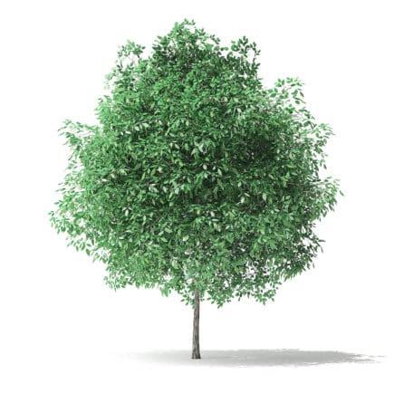 Green Ash Tree 3D Model 2.8m