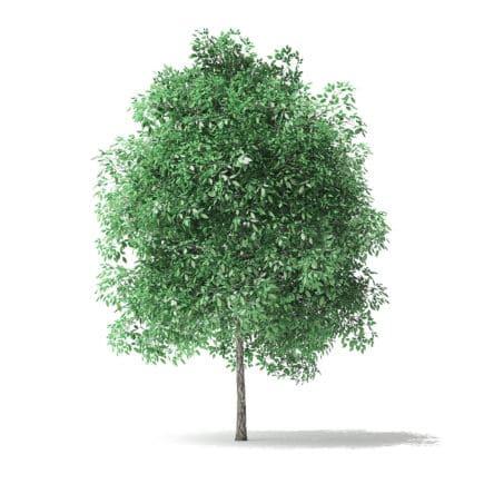 Green Ash Tree 3D Model 4m