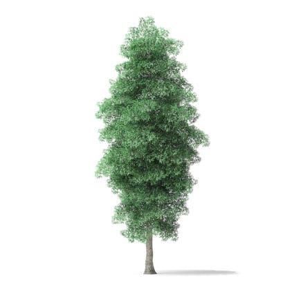 Green Ash Tree 3D Model 8.6m
