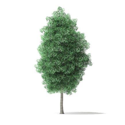Green Ash Tree 3D Model 7m