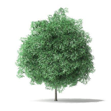 Green Ash Tree 3D Model 4.9m