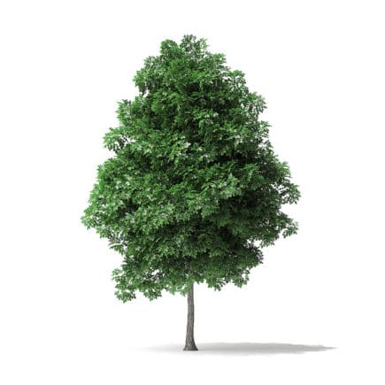 White Ash Tree 3D Model 4.2m