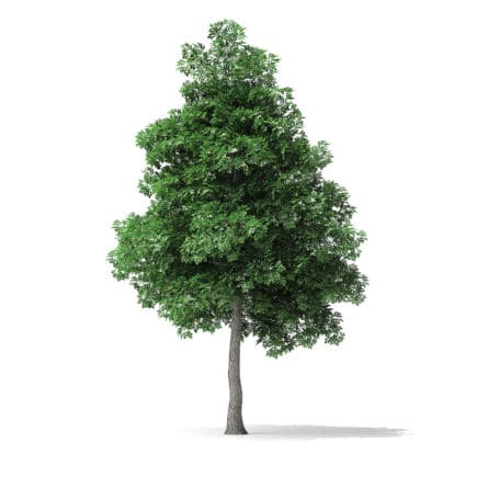 White Ash Tree 3D Model 6m