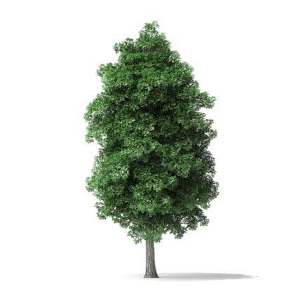 White Ash Tree 3D Model 7.8m
