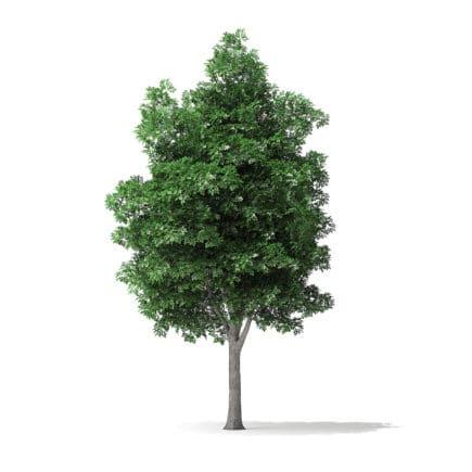 White Ash Tree 3D Model 7.4m