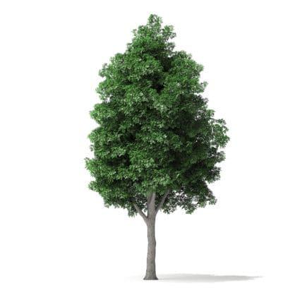 White Ash Tree 3D Model 9.8m